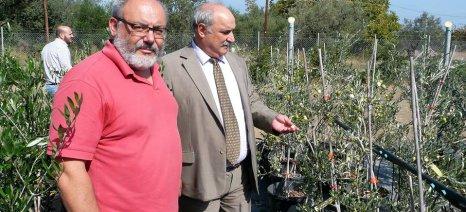 Στα φυτώρια του Γιώργου Κωστελένου φυλάσσεται το πολύτιμο γενετικό υλικό των ελληνικών ποικιλιών ελιάς