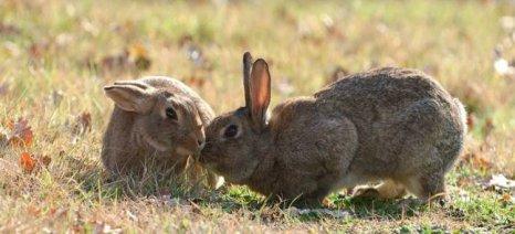 Μέχρι 18 Ιουνίου οι δηλώσεις ζημιών από άγρια κουνέλια σε καλλιέργειες βρώσιμων οσπρίων της Λήμνου