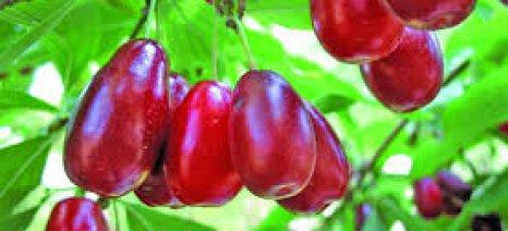 Ενημέρωση για την καλλιέργεια της κρανιάς στην Δράμα