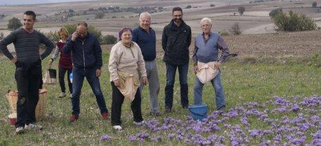 Κορυφώνεται η συλλογή του κρόκου - Αυτοψία στα χωράφια από τον δήμαρχο Κοζάνης