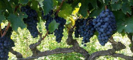 Ευνοϊκή η φετινή καλλιεργητική περίοδος για τα κρασιά της ζώνης του Αμυνταίου
