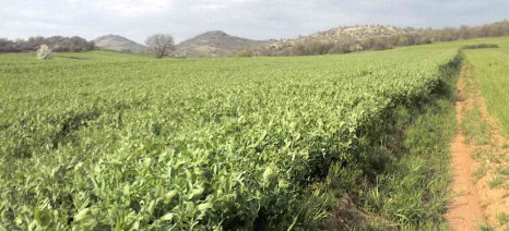 Καλλιέργεια μπιζελιάς για χόρτο και για καρπό
