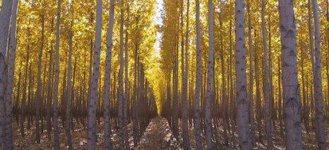 Από 250 σε 70 ανά στρέμμα μειώνεται η πυκνότητα δέντρων για τη Δάσωση