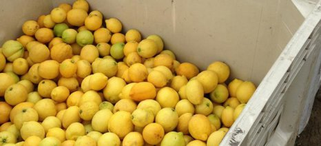 «Φτερά» έκαναν το πρωί της Κυριακής 10 κλούβες λεμόνια από χωράφι στο Βέλο Κορινθίας