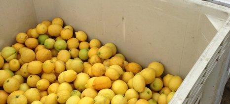 Κλοπές μέχρι και του 40% της παραγωγής των λεμονιών καταγγέλει ο Α.Σ. Κιάτου-Τραγάνας