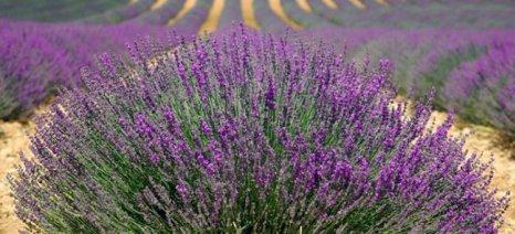 Λεβάντα: Μια καλλιέργεια που κερδίζει συνεχώς έδαφος στην Ελλάδα