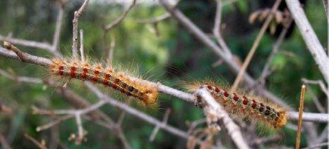 Σημαντικές ζημιές σε κηπευτικά και δέντρα από το έντομο λυμάντρια στη Δράμα