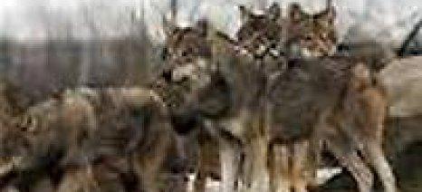 Λύκοι κατασπάραξαν αιγοπρόβατα σε στάνη της προέδρου του Συλλόγου Κτηνοτρόφων Θεσπρωτίας
