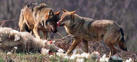 Επιθέσεις λύκων σε κοπάδια της Θράκης