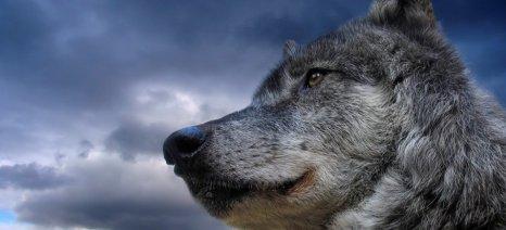 Οι λύκοι αφανίζουν τα κοπάδια στην ορεινή Τριχωνίδα