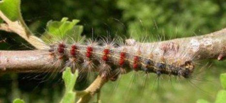 Τον κώδωνα του κινδύνου για το έντομο Lymantria κρούει το ΓΕΩΤΕΕ Ανατολικής Μακεδονίας