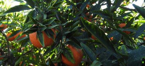 Συνιστώνται ψεκασμοί στις μανταρινιές της Αργολίδας κατά του κηροπλάστη από 16 έως 20 Αυγούστου