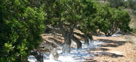 Σχεδόν 90% οι καταστροφές σε καλλιέργειες μαστιχόδεντρων στη Χίο