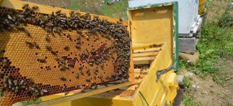 Το δίλημμα του μελισσοκόμου: πώληση μελιού ή παραφυάδων;