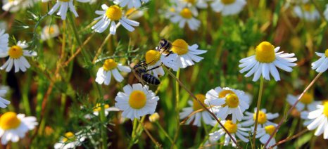 Η μόλυνση από αλουμίνιο προκαλεί άνοια στις μέλισσες