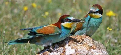 Ο Μέροπας στο Δέλτα του Έβρου, ένα παρεξηγημένο πτηνό