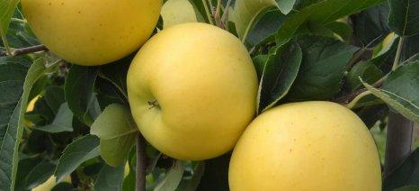 Στην πρώιμη συγκομιδή οφείλεται το έγκαυμα στην επιφάνεια των μήλων
