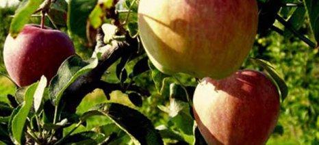 Eπιχείρησαν να κλέψουν 250 κιλά μήλα από αγρόκτημα στον Τύρναβο