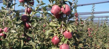 Ξεκίνησε η συγκομιδή των μήλων στην Καστοριά