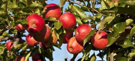 Μειωμένη κατά 5% προβλέπεται η παραγωγή μήλων στην Ευρώπη