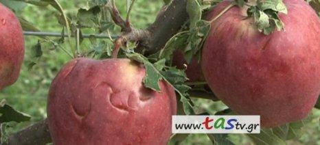 Καταστράφηκαν από το χαλάζι τα μήλα στην Άρνισσα