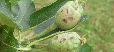 Ολοκληρωτική καταστροφή στα μήλα Καστοριάς - ανάγκη για αποζημίωση
