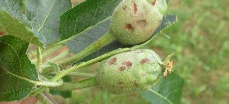Πρωτοφανής η ζημιά από το χαλάζι στα μήλα της Ζαγοράς Πηλίου