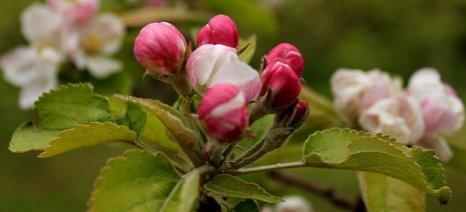 Κόκκινος τετράνυχος, αφίδες και ωίδιο απειλούν αυτή την περίοδο τις μηλιές