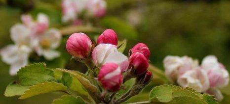 """Επεκτείνεται το """"κομφούζιο"""" σε μήλα, αχλάδια και κυδώνια με επιδότηση από 54,2 ευρώ το στρέμμα"""