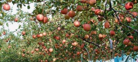 Μειωμένη η φετινή παραγωγή μήλων σε Ελλάδα και Ε.Ε.