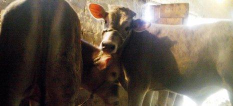 «Εξόριστο» το ντόπιο μοσχαρίσιο κρέας, με τους βοοτρόφους να εγκαταλείπουν