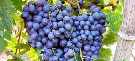 Ο Α.Ο.Σ. Τυρνάβου προωθεί έρευνα για το γενετικό υλικό της ποικιλίας «Μοσχάτο»