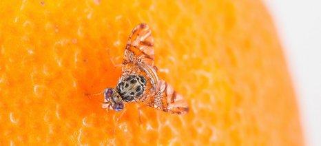 Χτύπησε η Μύγα της Μεσογείου τα πορτοκάλια της Κρήτης
