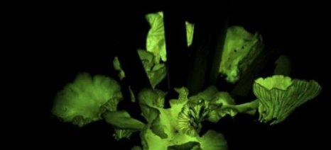 Γιατί οι μύκητες εκπέμπουν φως;