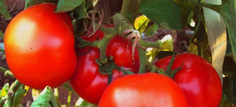 Μειώνεται η αποτελεσματικότητα των εντομοκτόνων για τον έλεγχο του εχθρού της τομάτας Τuta absoluta