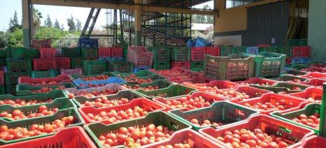 Τι πρέπει να κάνουν τα εργοστάσια ντομάτας, ώστε να πάρουν τη συνδεδεμένη ενίσχυση οι παραγωγοί