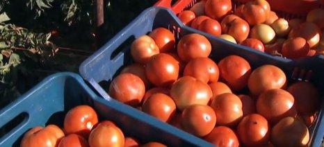 Προβληματισμένοι οι παραγωγοί ντομάτας στα Φιλιατρά για τις ελληνοποιήσεις