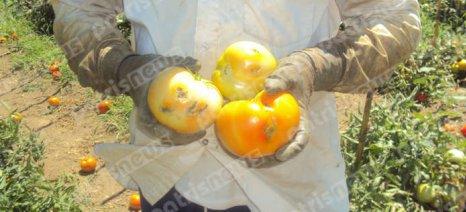 Σε απόγνωση οι παραγωγοί ντομάτας  στις Ράχες Ανδρίτσαινας, λόγω του εντόμου Tuta Absoluta