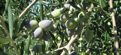 Ημερίδες για την προστασία της ελιάς σε Φιλιατρά και Γαργαλιάνους