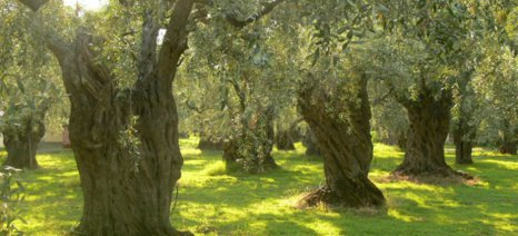 Εντατικοί έλεγχοι για την παράνομη κοπή ελαιοδέντρων στην Κέρκυρα