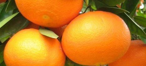 Κρατικές ενισχύσεις de minimis θα ζητήσουν οι Λάκωνες για μανταρίνια ορτανίκ και πορτοκάλια βαλέντσια