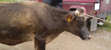 Κρούσμα οζώδους δερματίτιδας βοοειδών στην περιοχή του δήμου Αργιθέας