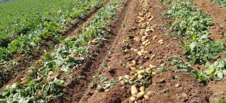 Οδηγίες για τη συγκομιδή της πατάτας