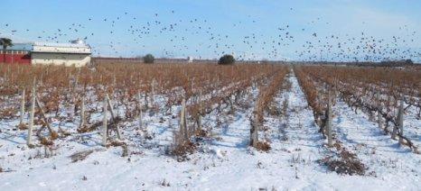 Αγωνιούν για τις καλλιέργειες οι αγρότες στον Τύρναβο εξαιτίας του παγετού