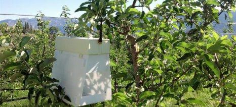 """Αιτήσεις για το """"κομφούζιο"""" σε ροδακινιά, βερικοκιά, νεκταρινιά, μηλιά, αχλαδιά και κυδωνιά μέχρι 31 Ιουλίου"""