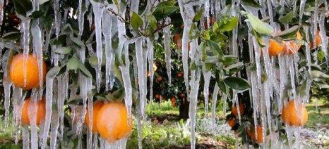 Μεγάλες ζημιές από τον παγετό και στην Αιτωλοακαρνανία