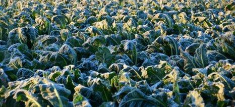 Δηλώσεις για ζημιές από παγετό στα κηπευτικά στις Φέρες Έβρου