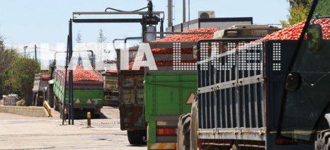 Ομαλοποίηση στη ροή για τις παραδόσεις βιομηχανικής ντομάτας στα εργοστάσια της Ηλείας