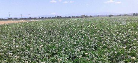 Δεν προβλέπεται αποζημίωση από τον ΕΛΓΑ για τον μύκητα που έπληξε τις πατάτες Νευροκοπίου