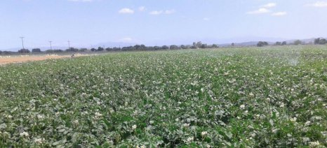 Αρχές Απριλίου θα βγουν οι ανοιξιάτικες πατάτες σε Μεσσήνη και Καλαμάτα
